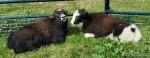 Foxloft Farm Yak