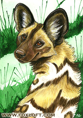 Curious Gaze - African Wild Dog