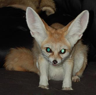 Fennec Foxes | The Fox...