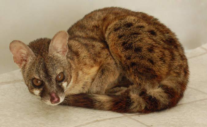 Pet Genets The Foxloft